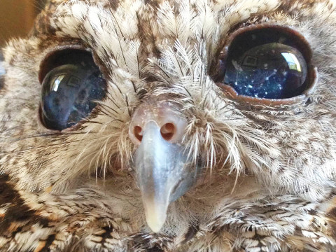 rescued-blind-owl-zeus